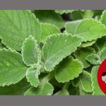 #FALSO| Chá de boldo não combate sintomas nem cura a covid-19