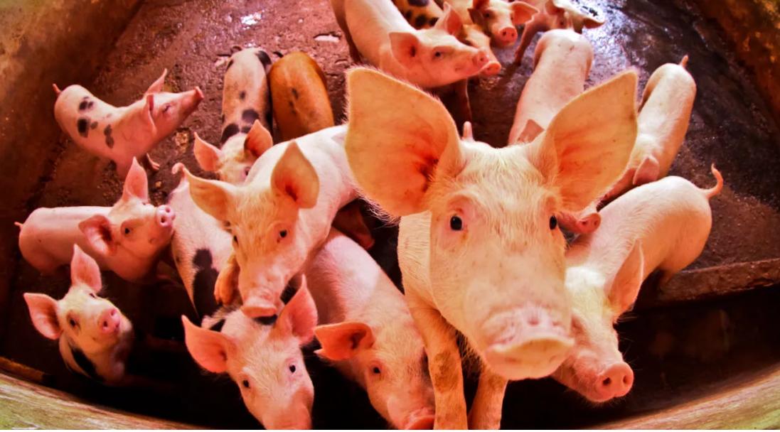 """Celeiros """"cheios de porcos e galinhas ajudam a selecionar as linhagens mais virulentas"""", diz Wallace. Foto: Thiago Gomes/Susipe/Agência Pública"""